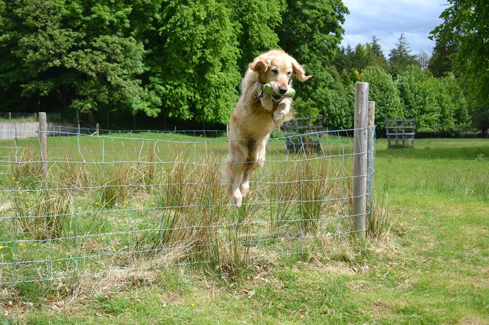 Diesel fetches a dummy in a corral – and jumps over a fence