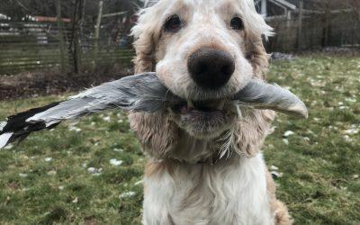 Träna hunden att ta vilt