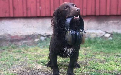 Om att träna en skottberörd hund – del 4